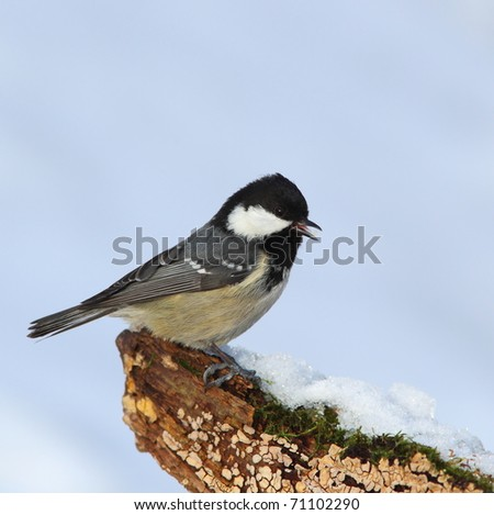 Coal tit, (Parus ater) on a snowy, mossy, fungal stump