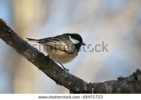 Coal Tit perched in a tree