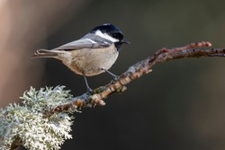 Coal tit (Periparus ater) perched on a branch with lichens against an out of focus background.