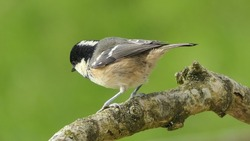 Coal Tit sitting on a tree in a wood in UK