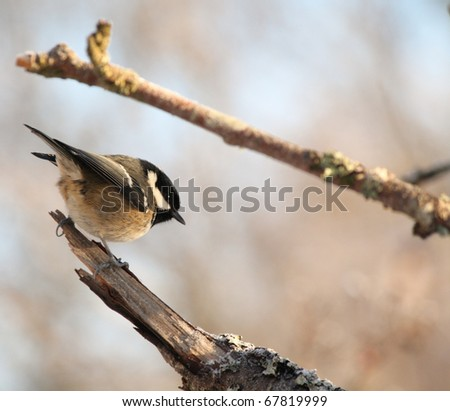 Coal Tit. Small bird common to gardens and woodlands