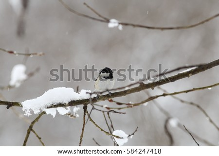 Litrtle white snow tits
