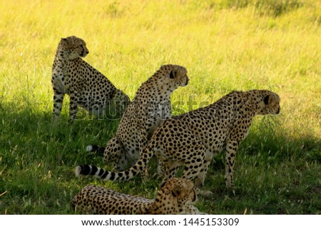 Coalition of Cheetahs sitting together looking and ready to hunt