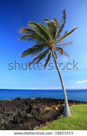 Coast of Hawaii Kona Island with Palm on Black Volcanic Lava Soil - stock photo