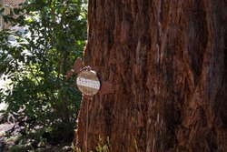 Coast redwood (Sequoia sempervirens) coastal redwood, California redwood. Memorial plaque next to a redwood tree in Kirkland, Wa. US.