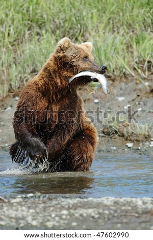 Coastal Alaskan brown bear catches a chum salmon and hurries to find a place on short to enjoy the meal.