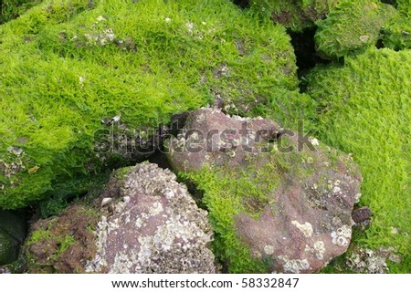 coastal background texture of algae on rocks at low tide