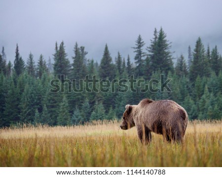 Coastal brown bear, also known as Grizzly Bear (Ursus Arctos) and Douglas fir also known as Douglas-fir and Oregon pine (Pseudotsuga menziesii). South Central Alaska. United States of America (USA). - Shutterstock ID 1144140788