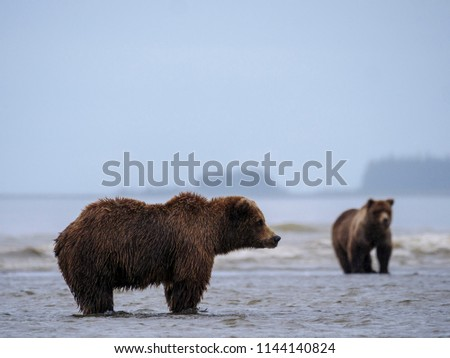 Coastal brown bear, also known as Grizzly Bear (Ursus Arctos). Cook Inlet. South Central Alaska. United States of America (USA). - Shutterstock ID 1144140824