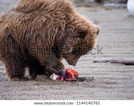 Coastal brown bear, also known as Grizzly Bear (Ursus Arctos) cub feeding on a silver salmon or coho salmon (Oncorhynchus kisutch). South Central Alaska. United States of America (USA). - Shutterstock ID 1144140785