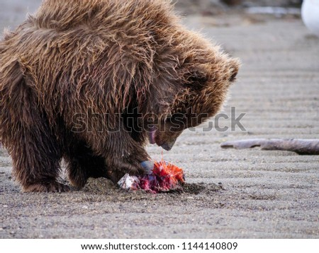 Coastal brown bear, also known as Grizzly Bear (Ursus Arctos) cub feeding on a silver salmon or coho salmon (Oncorhynchus kisutch). South Central Alaska. United States of America (USA). - Shutterstock ID 1144140809