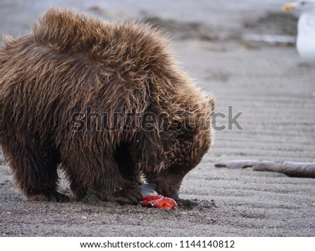 Coastal brown bear, also known as Grizzly Bear (Ursus Arctos) cub feeding on a silver salmon or coho salmon (Oncorhynchus kisutch). South Central Alaska. United States of America (USA). - Shutterstock ID 1144140812