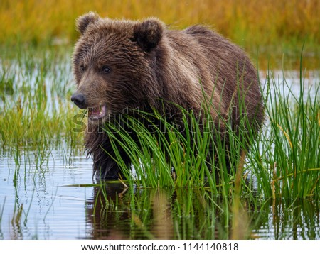 Coastal brown bear, also known as Grizzly Bear (Ursus Arctos) cub feeding on grass. South Central Alaska. United States of America (USA). - Shutterstock ID 1144140818