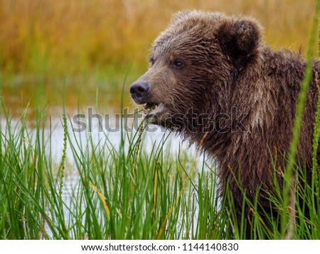 Coastal brown bear, also known as Grizzly Bear (Ursus Arctos) cub feeding on grass. South Central Alaska. United States of America (USA). - Shutterstock ID 1144140830