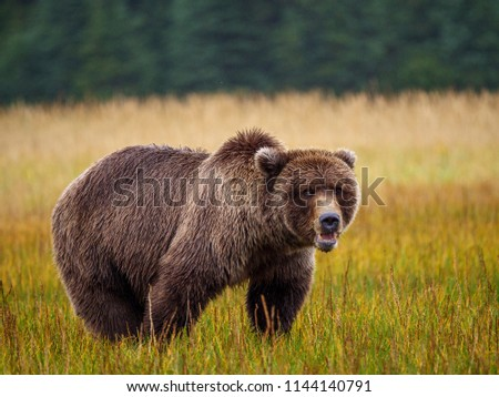 Coastal brown bear, also known as Grizzly Bear (Ursus Arctos). South Central Alaska. United States of America (USA). - Shutterstock ID 1144140791