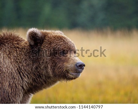 Coastal brown bear, also known as Grizzly Bear (Ursus Arctos). South Central Alaska. United States of America (USA). - Shutterstock ID 1144140797