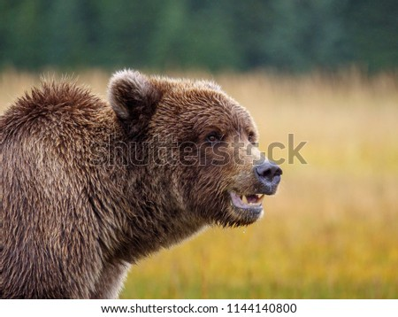 Coastal brown bear, also known as Grizzly Bear (Ursus Arctos). South Central Alaska. United States of America (USA). - Shutterstock ID 1144140800
