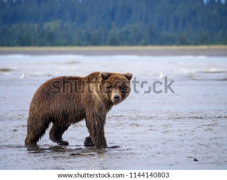 Coastal brown bear, also known as Grizzly Bear (Ursus Arctos). South Central Alaska. United States of America (USA). - Shutterstock ID 1144140803