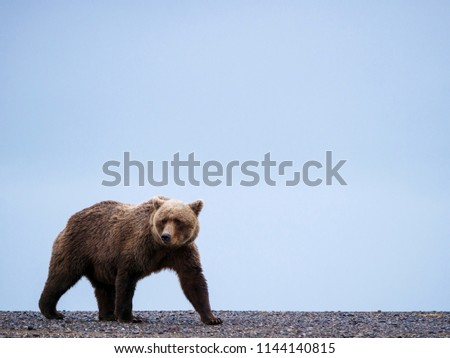 Coastal brown bear, also known as Grizzly Bear (Ursus Arctos). South Central Alaska. United States of America (USA). - Shutterstock ID 1144140815