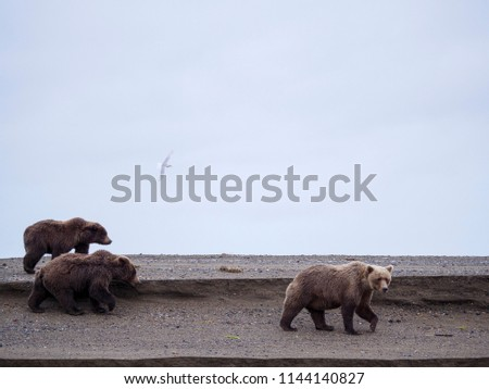 Coastal brown bear, also known as Grizzly Bear (Ursus Arctos). South Central Alaska. United States of America (USA). - Shutterstock ID 1144140827