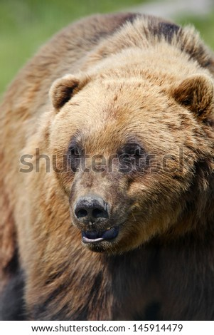 Coastal Brown Bear - close up