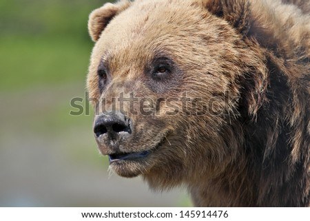 Coastal Brown Bear - close up head