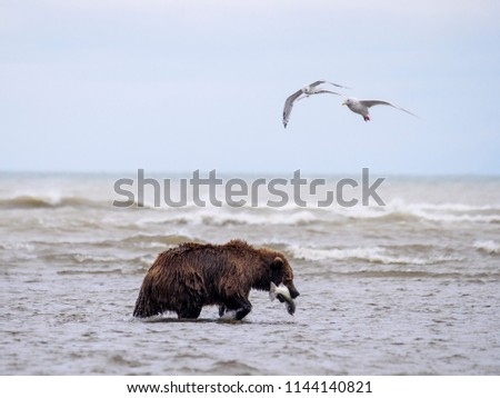 Coastal brown bear, or Grizzly Bear (Ursus Arctos) with a silver salmon or coho salmon (Oncorhynchus kisutch) it has caught. Cook Inlet.  South Central Alaska. United States of America (USA). - Shutterstock ID 1144140821
