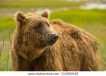 Coastal Brown Bear (Ursus arctos) - stock photo