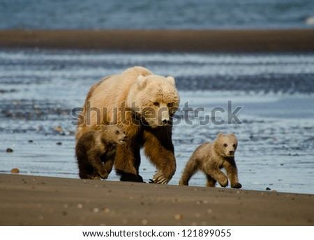 Coastal Brown Bears/ Silver Salmon Creek Lodge