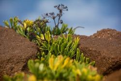 Coastal plants in the sandstone rocks