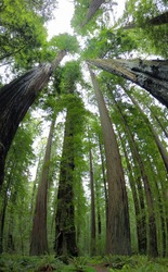 Coastal Redwood trees, Sequoia sempervirens, thrive in the moist climate in Humboldt Redwoods State Park, Northern California. There are over 100 trees in this park that grow over 350 feet tall.