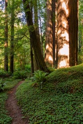 Coastal Redwoods in Humboldt Redwoods State Park on the Avenue of the Giants outside Redwood National and State Parks in Crescent City, California