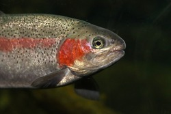Coastal steelhead trout (Oncorhynchus mykiss) in California, USA