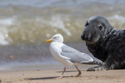 Coastal wildlife. Adult Herring gull (Larus argentatus) walking on the beach with a seal watching. Seagull at the Horsey grey seal colony Norfolk coast UK. Diverse ecosystem and ecology nature image.