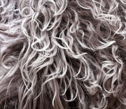 coat texture lambskin with long grey hair and curls
