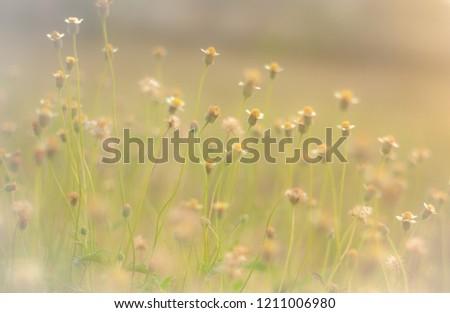 Coatbuttons, Mexican daisy.Tridax procumbens .Plantae.MagnoliophytaAsteraceae (Compositae).Tridax.T.  Procumbens #1211006980