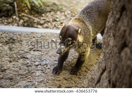 Coati in Costa Rica #636653776