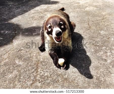 Coati (Mexico) #517213300
