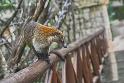 Coati specimen ready to jump from a wooden fence that runs through the woods