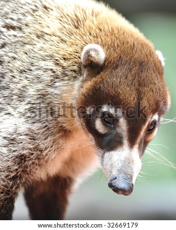 coatimundi costa rican female adult or pizote or south american raccoon. tropical mammal similar possum white nose exotic coon