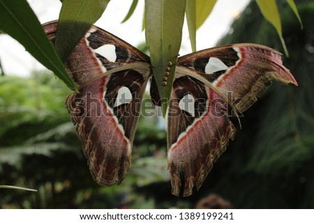 Cobra Moth ( Attacus Atlas ) resting on a leaf. Butterfly insect. Picture taken from behind.