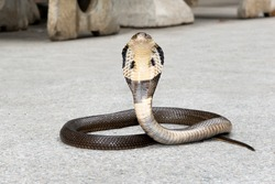 Cobra on the floor