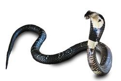 Cobra snake isolated on white background