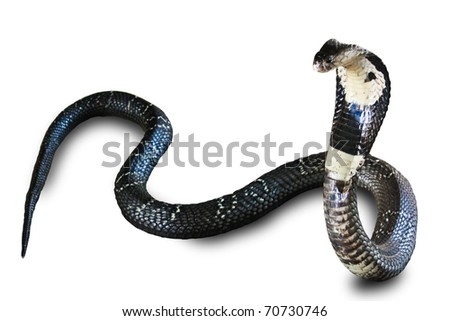 Cobra snake isolated on white background
