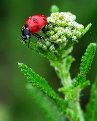 Coccinelle Bug