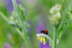 Coccinellidae is a widespread, Ladybird beetle, ladybugs. red beetle with black dots. insects in the wild. natural background. macro nature. ladybug sitting on a meadow plant