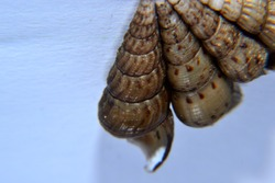 cochlea snail isolated with with background