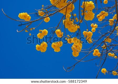 Free photos cochlospermum regium yellow silk cotton tree yellow cochlospermum regium flower on blue sky yellow cotton tree is a small tree its mightylinksfo
