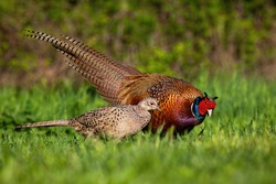 Cock and hen of common pheasant, phasianus colchicus, in mating season at sunset. Concept of gentle love between animals in nature. Two wild birds in courting.