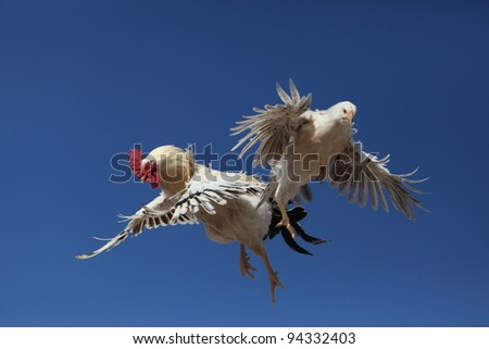 cock and young hen in flight
